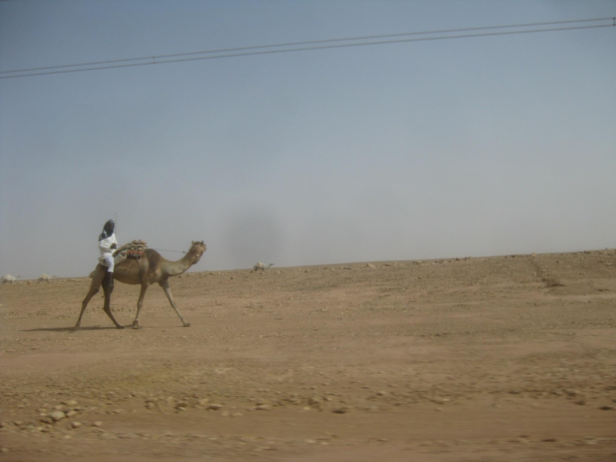A local camel shepherd near Riyadh in Saudi