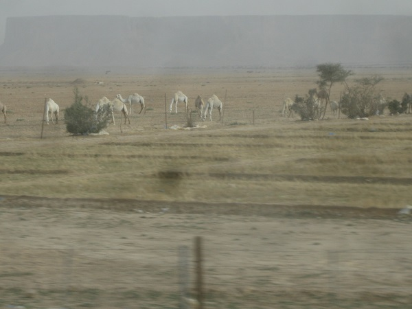 Saudi - A heard of roaming camels west of Riyadh it amazing how these anamials can deal with the harshest climate like its nothing at all
