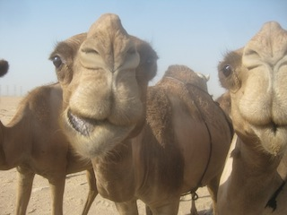 Kuwait - After befriending some camels with bananas and apples one of them became interetested in maybe tasting my camera
