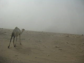 Kuwait - How these remarkable creatures manage to survive in the brutal desert is beyond comprehension