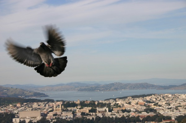Twin-Peaks-San-Francisco-Bird-in-Flight-Dawn Cullo