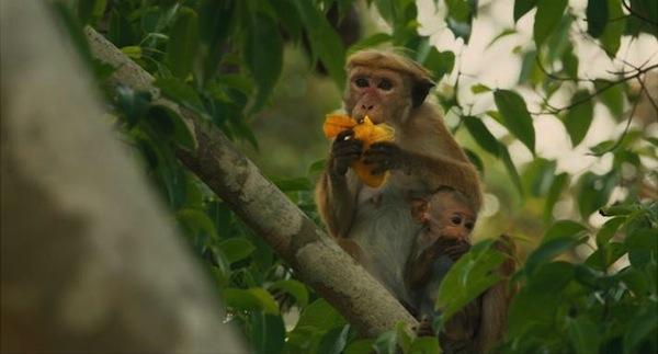 This Girl Travels Reviews Disneynature Monkey Kingdom